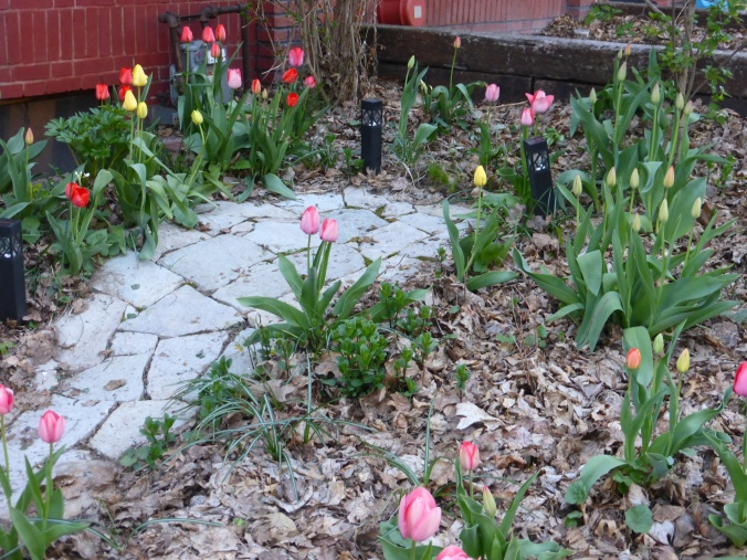 many tulips blooming, spearmint and peony stems coming up, amid autumn leaves around a stone path