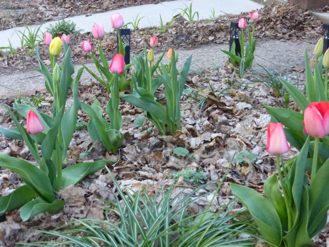 tulips blooming and leaves of many plants coming up through autumn leaves in beds between concrete paths