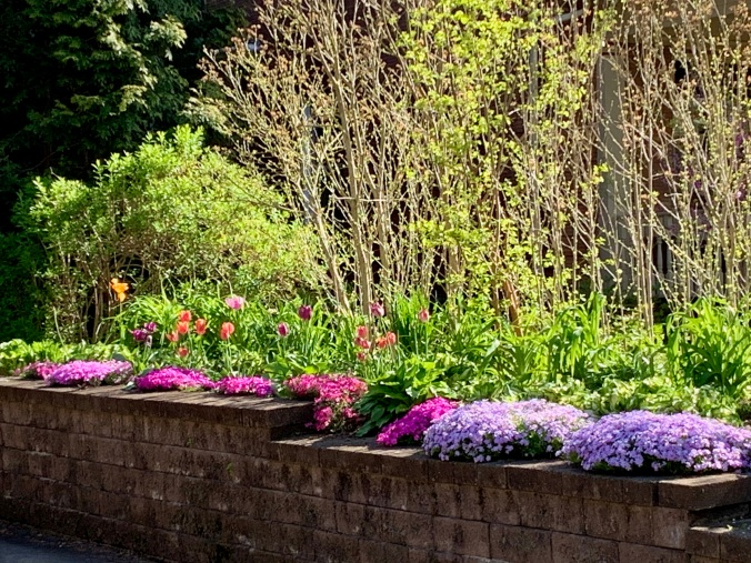 sunlit hedges, tulips, and phlox along a garden wall