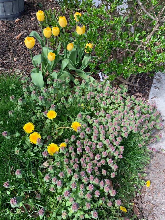 yellow tulips and purple weed