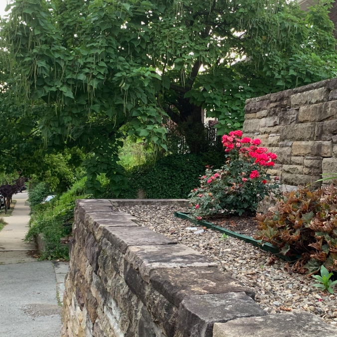 sidewalk passing two tiers of stone retaining wall with rosebush between them, and catalpa tree on ivy-covered hillside