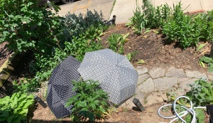 two differently patterned black-and-white umbrellas pitched at opposing angles to enclose and shade part of the stone path in a small, urban garden baking in sunlight